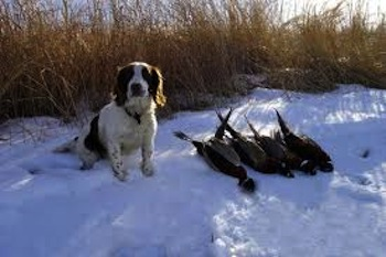 Three Weeks out from a Cold Pheasant Shoot – It's Cold Outside