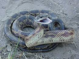 What about snakes when hunting in Texas?